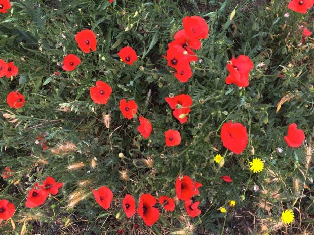 Vibrant poppies.
